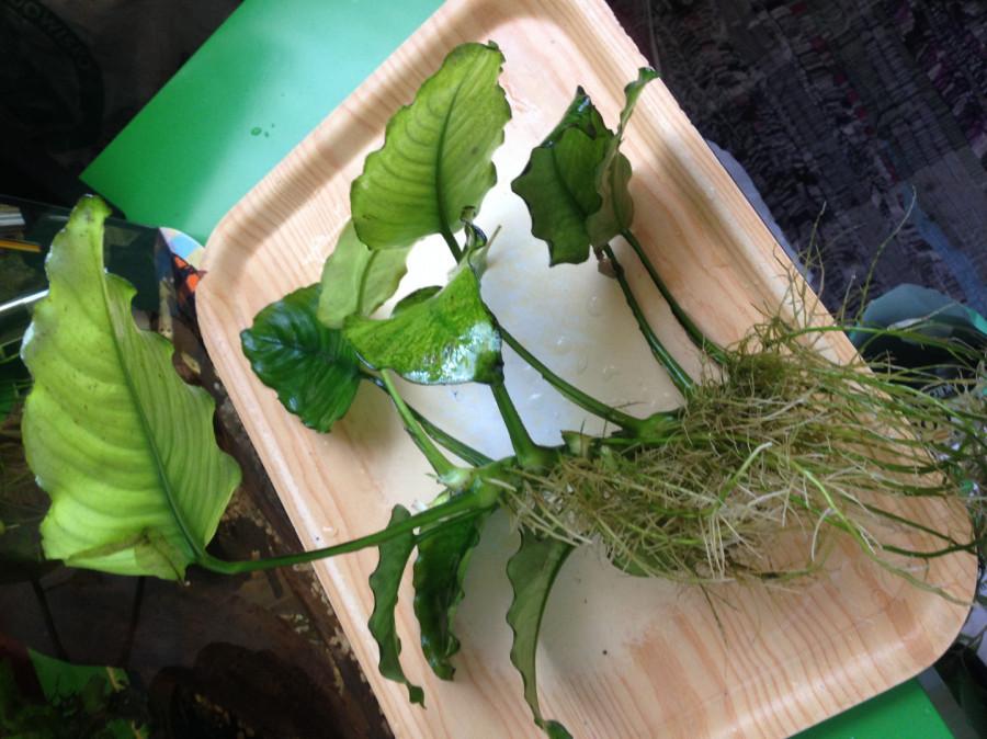 Roślinki do akwarium Anubias - duża sadzonka: zdjęcie 86800745