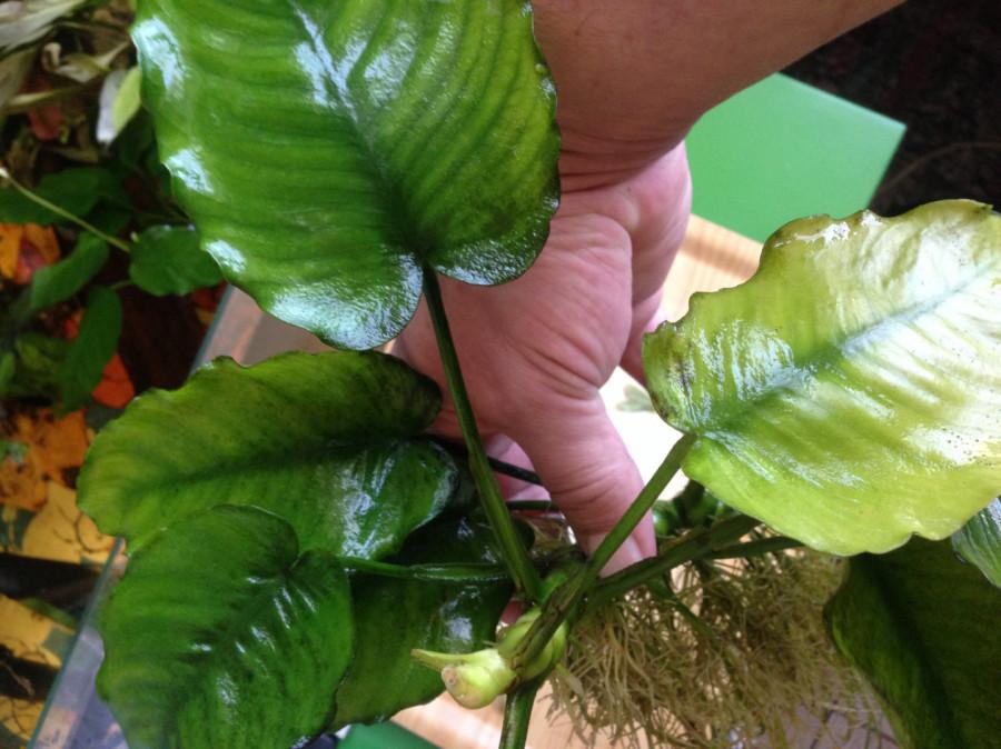 Roślinki do akwarium Anubias - duża sadzonka: zdjęcie 86800746