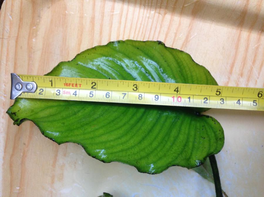Roślinki do akwarium Anubias - duża sadzonka: zdjęcie 86800748