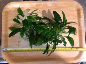 Roślinki do akwarium - Anubias Lancetowaty