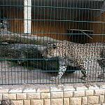 Pantera w gdańskim zoo