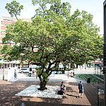 Drzewo rosnące przy Infoboxie