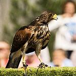 Pokaz umiejętności ptaków drapieżnych