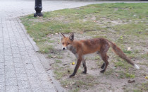 Lis spaceruje przy kościele na 3 Maja w...