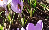 Wiosna się zbliża?Pszczółki już...