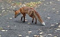 Zagubiony lis