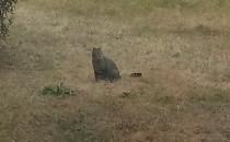 Kot od rana chodzi samopas po całym osiedlu
