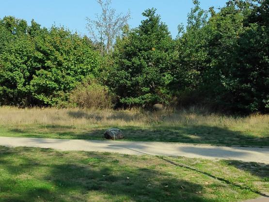Dziki przechadzają się po Parku Reagana