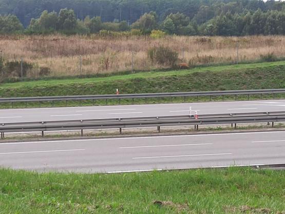 Sarna biega między Matarnią a Karczemkami