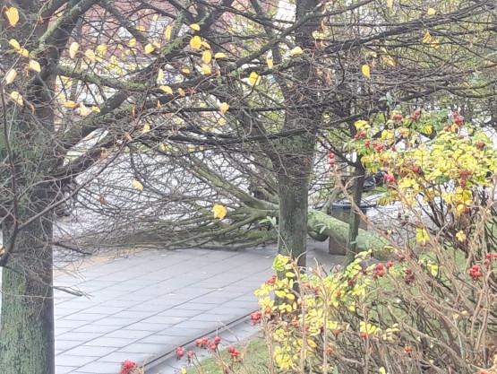 Przewrócone drzewo przy ul. Platynowej na Oruni
