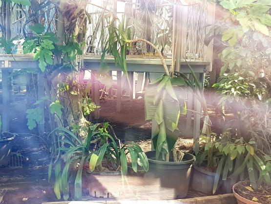 Zwiędłe rośliny w palmiarni w parku Oliwskim