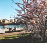 Kwitnące drzewa nad Motławą