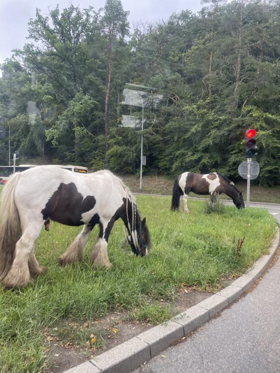 Konie pasą się na rondzie koło ZOO