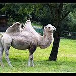 Wielbłąd - Oliwskie ZOO