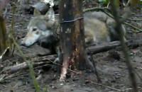 Uwięziona wilczyca