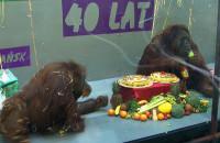 ZOO: 40 urodziny orangutanów