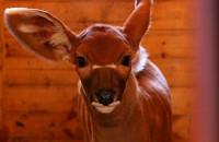 ZOO: Mały bongo z wielkimi uszami