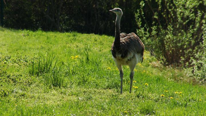 Mają napęd na dwie nogi ispore przyspieszenie. Do tego samiec lubi otaczać się haremem samic. Zobacz nandu - nowy nabytek gdańskiego ZOO.