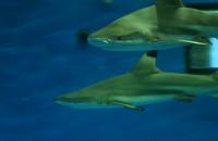 Rekiny w Akwarium Gdyńskim