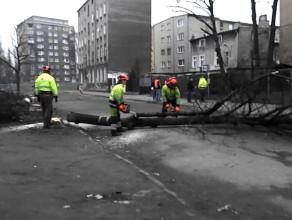 Wycinka drzew na Dolnym Mieście w Gdańsku