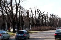 Przycinka drzew na al. Zwycięstwa w Gdańsku