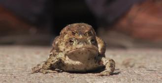 Stop. Daj przejść żabie!