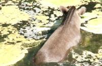 Wyścig do wody: tapiry kontra hipopotamy