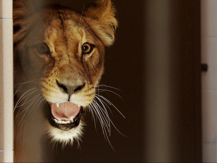Zobacz, jak wyglądał wyładunek lwów, które do ZOO przyjechały 5 października.