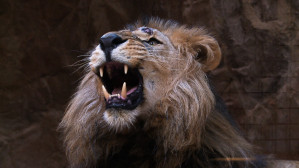 Zobacz lwiarnię i jej mieszkańców