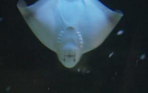 Akwarium: podwodne nietoperze
