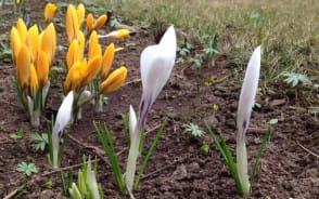 Wiosenne kwiaty w Oliwie