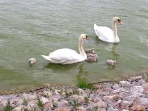 Na jeziorku przy PKM Jasień wykluły się łabędzie