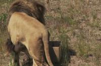 Lwy dobrały się do kartonów z mięsem