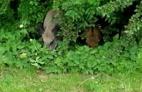 Dziki podglądają spacerowiczów na Bulwarze Nadmorskim