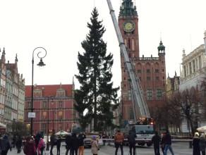 Gdańska choinka jest już na Długim Targu