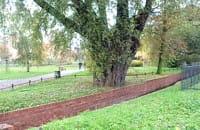 Bardzo stare drzewo w parku nad Strzyżą