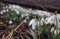 Wiosna nadchodzi! Przebiśniegi przy Potoku Oliwskim