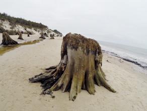Las sprzed 5 tys. lat na Mierzei Gardnieńskiej