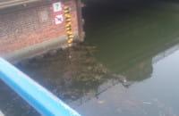 Kot w kanale Motławy