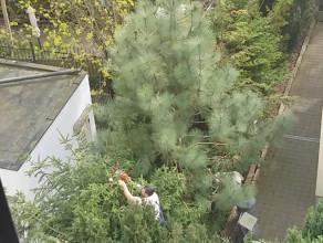 Profesjonalna przycinka drzew :)