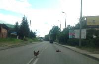 Rozjechali kurę na środku Kartuskiej