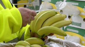 Jak to się robi: Dojrzewalnia bananów