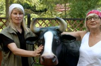 Naucz się doić krowę