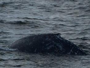 Wieloryb w Zatoce Gdańskiej