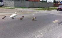 Rodzina łabędzi spaceruje Myśliwską