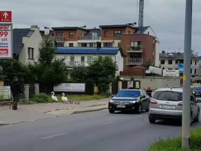 Rodzina łabędzi przechodzi przez ulicę na Myśliwskiej w Gdańsku