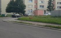 Sarenka biega na ul. Powstania...