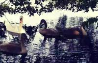Rodzina łabędzi w Oliwie