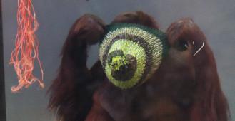 Orangutan w berecie od seniorek