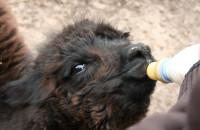 Mała alpaka i jej przybrana mama